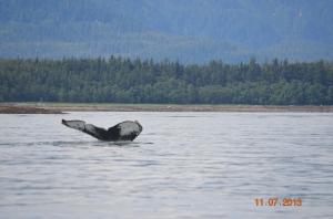 humpback fluke